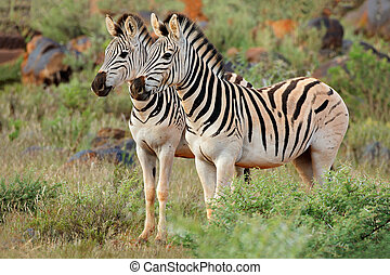 Plains zebras in natural habitat - Two plains (Burchells)...