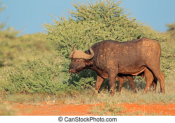 Buffalo in natural habitat - An African buffalo (Syncerus...