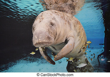 Sea Cow Swimming Underwater - Lazy sea cow swimming...