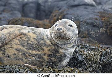 Face of a Gray Seal