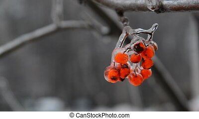 Sprig of rowan with berries is covered by ice - Sprig of...