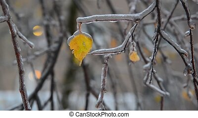 Birch leaves are covered ice after rain in winter