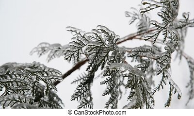 fir needles is icy after rain in winter - fir needles is icy...