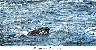 Baleen Whale Surfaces - Baleen Whale surfaces its head