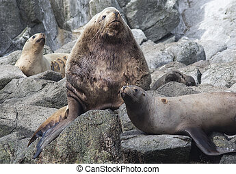 male Steller sea lions lying on a rock next to the harem...