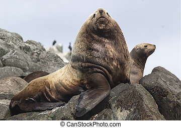 male Steller sea lions lying on a rock next to the harem