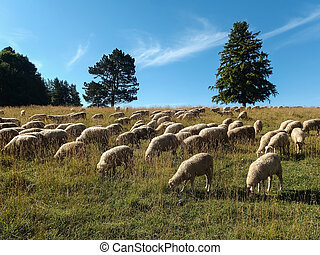 Sheep grazing - Field with sheep grazing
