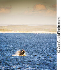 Southern Right Whale at Sunset - Southern Right Whale...