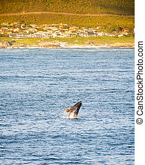 Hermanus Whale Watching Season - Hermanus, South Africa...