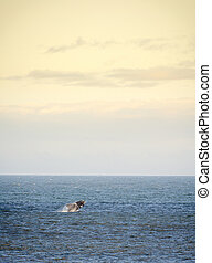 Southern Right Whale Jumps - Southern Right Whale jumps out...