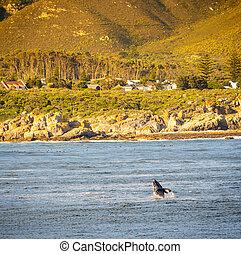 Hermanus Whale Watching - Whale watching at Hermanus in...