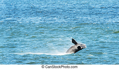 Southern Right Whale Breaching - Southern Right Whale...