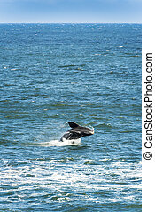 Southern Right Whale Jumping - Southern Right Whale jumping...