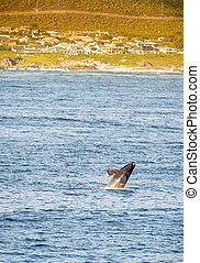 Hermanus Whale Watching Season - Hermanus, South Africa...