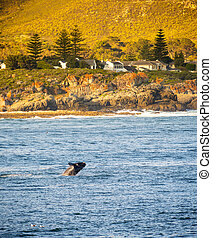 South Africa Whale Watching - Hermanus, South Africa during...