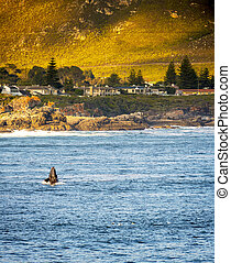 Hermanus Whale Watching - Whale watching at Hermanus in...