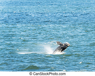 Southern Right Whale Jumping - Southern Right Whale jumps...