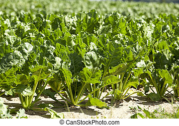 young beet greens - photographed closeup of a young beet...