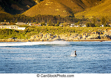 Whale Tail at Hermanus, South Africa - Whale flicks tail...