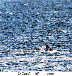Whale Tail in Ocean - Southern Right Whale's tail with ocean...