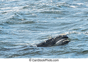 Southern Right Whale Surfaces - Southern Right Whale...