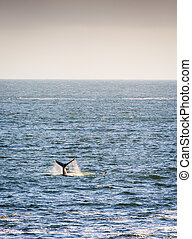 Whale Tail on Horizon - Southern Right Whale tail with ocean...