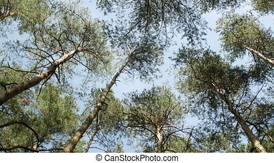 tall pine trees, view from the bottom up, camera rotates