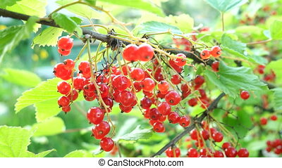 Bush of red currant with ripe berries in sunlight. Natural...