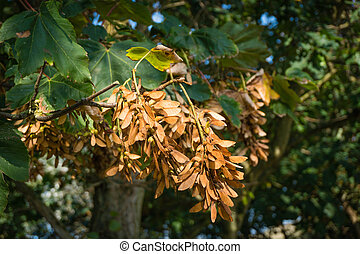Bunches of winged seeds of the sycamore maple - The...