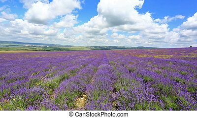 field with blooming lavender - Lavender flower blooming...