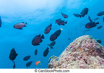 School of Threespot Dascyllus trimaculatus. Maldives -...