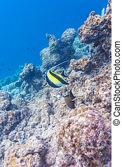 Moorish idol fish in shallow water, Maldives