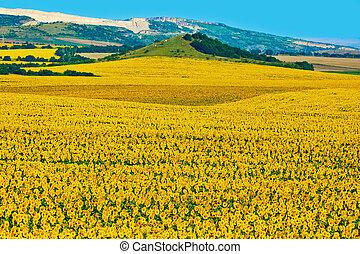 Bulgarian Sunflowers Field - Sunflowers Field in Varna...