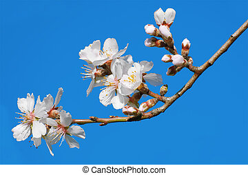 Spring Flowers on Branchlet against Blue Sky