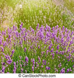 Shrub of Lavandula - Shrub of Lavender Flowers in Prosenik,...