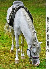 Saddled White Horse Eating the Grass