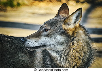 Portrait of Wolf - Portrait of Grey Wolf (Canis Lupus)