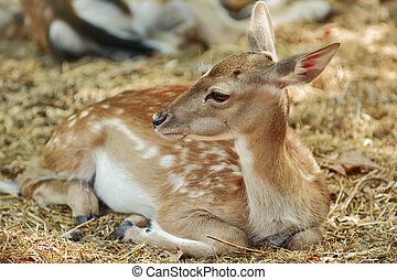 Portrait of a Young Deer - Young Spotted Deer Lies on the...