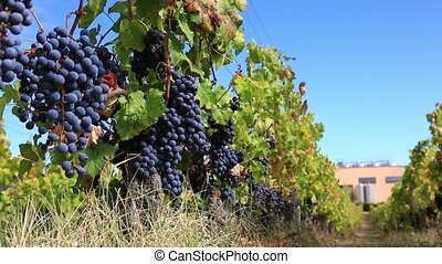 vineyard row with bunches of ripe red wine grapes - View of...