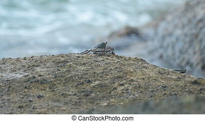 Crab on the rock at the beach, rolling waves, close-up, slow...