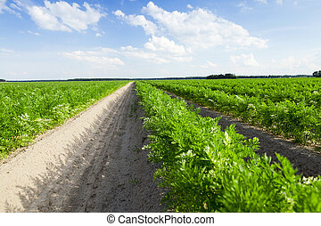 Field with carrot - photographed close-up of an agricultural...
