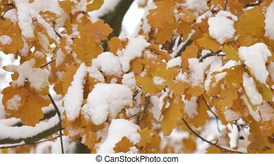 Awesome nature scene with closeup of maple leaves on the wind after heavy snow fall. Beautiful background with snow on colorful foliage.