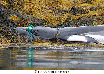 Fishing Net Tangled in a Whales Mouth - Deceased whale with...