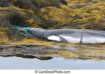 Deceased Baleen Whale Caught in a Net - Baleen whale caught...