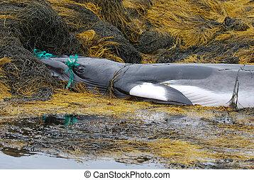 Minke Whale Tangled in a Net in Maine - Minke whale tangeld...