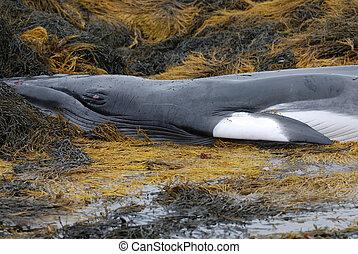 Deceased Minke Whale - Minke whale deceased in Casco Bay...