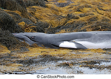 Seaweed and Dead Whale - Seaweed with a deceased whale in...