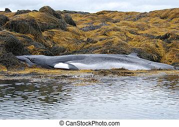 Minke Whale Deceased on a Reef in Maine - Minke whale...