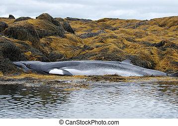 Dead Minke Whale on a Reef - Minke whale dead on a seaweed...