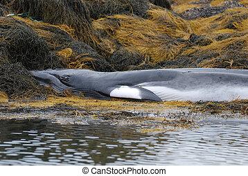 Beached Minke Whale - Minke whale on a rocky cropping of...